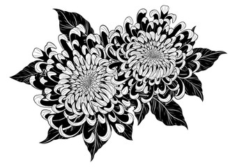 Chrysanthemum vector on white background.Chrysanthemum flower by hand drawing.