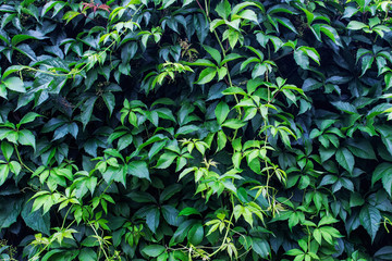 Texture with lavish green shiny wine leaves climbing the wall. Background with decorative garden plants.