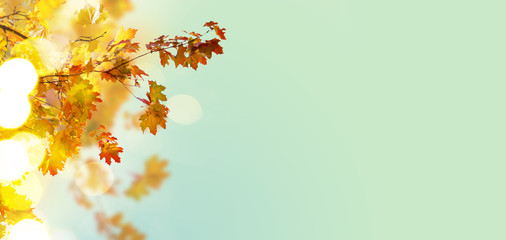 Fall yellow and orange maple leaves on blue sky background banner