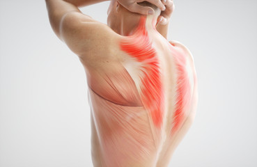 Anatomy of muscle body - 3D Rendering