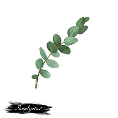 Eucalyptus ayurvedic herb digital art illustration with text isolated on white. Healthy organic spa plant widely used in treatment, for preparation medicines for natural healthcare usages