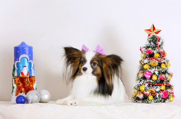 A white dog with a bow lies with Christmas decorations. New Year greeting card with cute Papillon puppy.