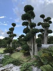 Diospyros rhodocalyx Kurz or Ebony or Persimmon tree.