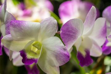 Closeup white orchid flowers