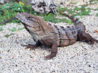 Black Spiny-Tailed Iguana Close-up, Mexico