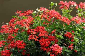 red flowers of geranium potted plant