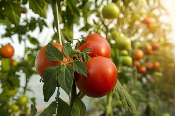 Macro, closeup of beautiful fresh organic tomatoes on branch , unpicked in greenhouse