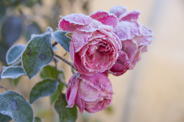 Close-up shot of pink blossoming roses with green leaves in a frosty autumn morning with a rime frost on leaves and heads.