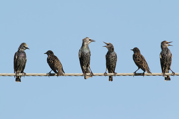Group of common starlings on the wire