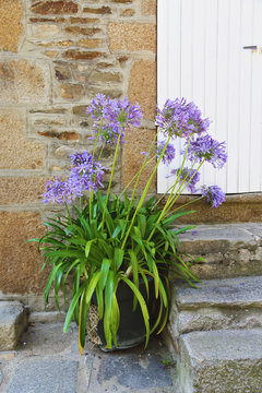 fleur agapanthe d'Afrique (agapanthus africanus) en pot dans cour extérieure maison