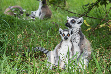 Young and adult ring tailed lemur