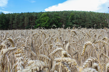 Wheat field with forest and blue sky