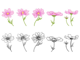 Cosmos flowers. Set of colored and outline flowers.