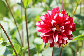 Closeup of dahlia flower in full bloom in the garden.