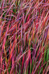 Red ornamental grass background