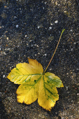 Big maple leaf fallen on the pavement