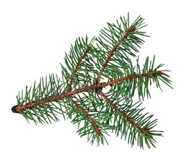Branch of a fir-tree, isolated on a white background without a shadow. Close-up.