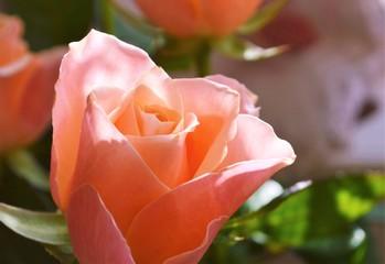 Pink Rose Bloom.