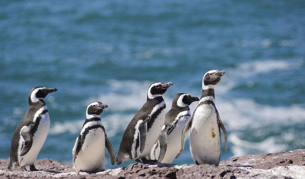 Magallanic Penguin