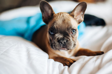 A french bulldog puppy wrapped in blankets lying on a bed