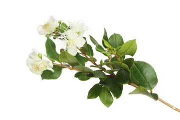 Myrtle flowers and foliage