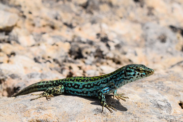 Turquoise coloured wall lizard from Formentera, Spain