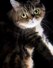 Beautiful tabby cat portrait isolated on black background, loot at the camera