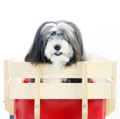 A furry small black and white long hair dog is in a little red wagon with a white isolated background.