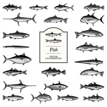 Fish Illustrations in a traditional style
