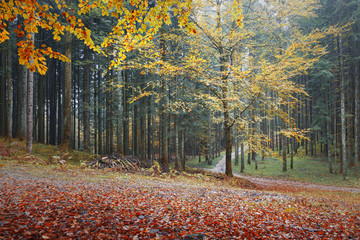 Wall Mural - Beautiful colorful leaves in autumn mysterious forest with paths.