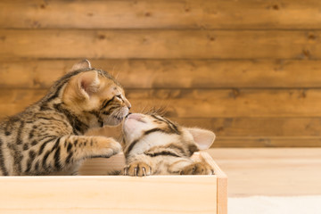 Two Bengal kittens caress each other in a box of wood