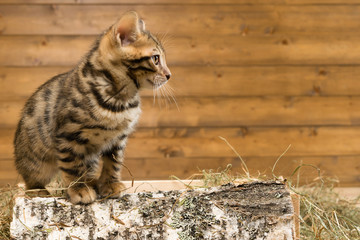 kitten sitting on a piece of birch wood and looks away