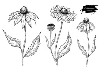 Calendula vector drawing. Isolated medical flower and leaves. Herbal engraved style illustration. Wall mural