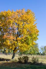Autumn tree maple