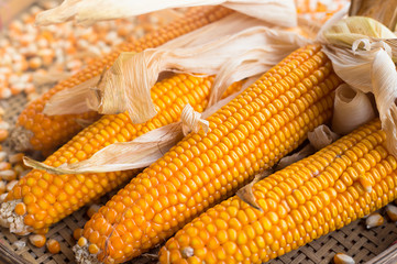 close up yellow dried corn for background, dried corn for popcorn of animal feed.
