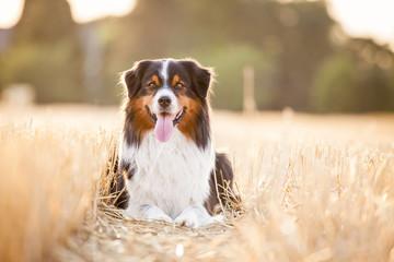 Photo sur Plexiglas Chien Hund Aussie liegt im Feld beim Sonnenuntergang im Stroh und Wald im Hintergrund