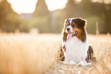 Hund liegt in einem Feld aus Stroh auf dem Boden und guckt zur Seite