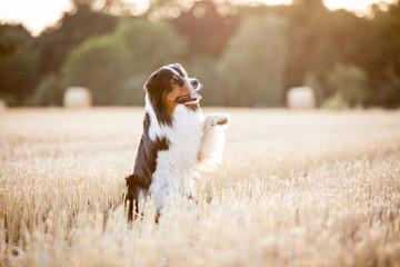 Hund Australian Shepherd sitzt im Feld und hebt das Bein hoch und winkt