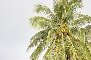 Beautiful coconut palm.