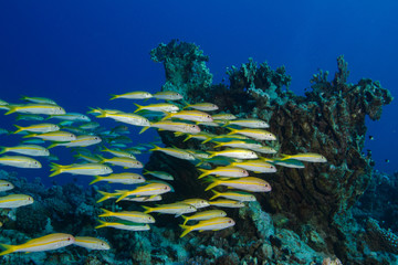 Shoal of yellow fish on blue marine background for tropiclal postcards design