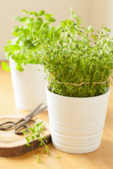 fresh thyme herb in white pot