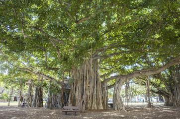 バニヤンの木