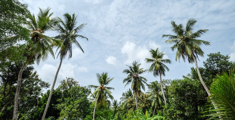 Palm trees (coconut) at the forest
