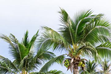 ヤシの木:タイ・サムイ島