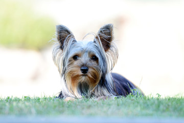 Small Yorkshire Terrier in the garden.