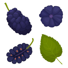 Mulberry vector. Berry mulberries in different angles. The whole, half and leaf. Detailed illustration.