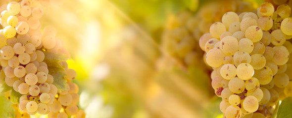 Grape Riesling (wine grape) on grapevine in vineyard lit by sunlight-sun rays Fototapete