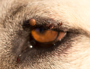 Mites on the eye of a dog