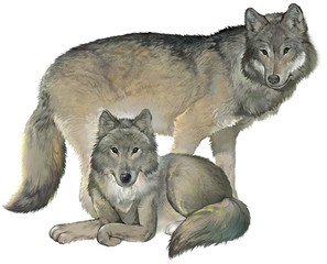 Two gray wolves on the white background. Illustration drawing on computer by graphic tablet.