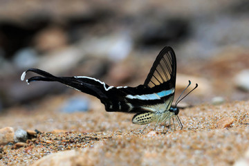 Butterflies are urinating on the sand in nature. green dragontail, white dragontail
